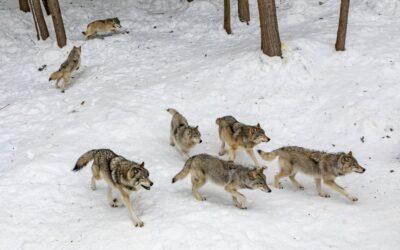 Mental Health Day: stop meehuilen met de wolven!