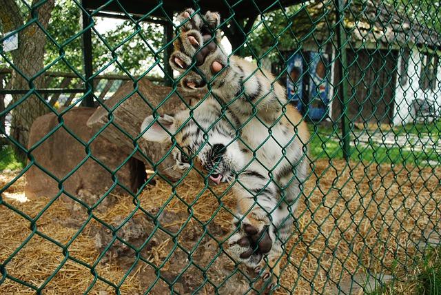 De gekooide tijger en een Coronavirus
